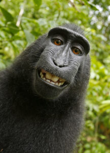 Self-portrait (?) of a macaque monkey