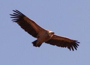 a vulture soaring