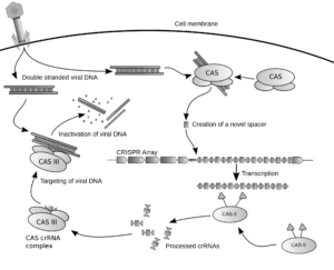 Diagram of the CRISPR prokaryotic antiviral defense mechanism